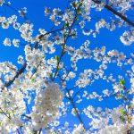 醍醐の花見。秀吉の最晩年における花見の宴、北野大茶湯と双璧を成す