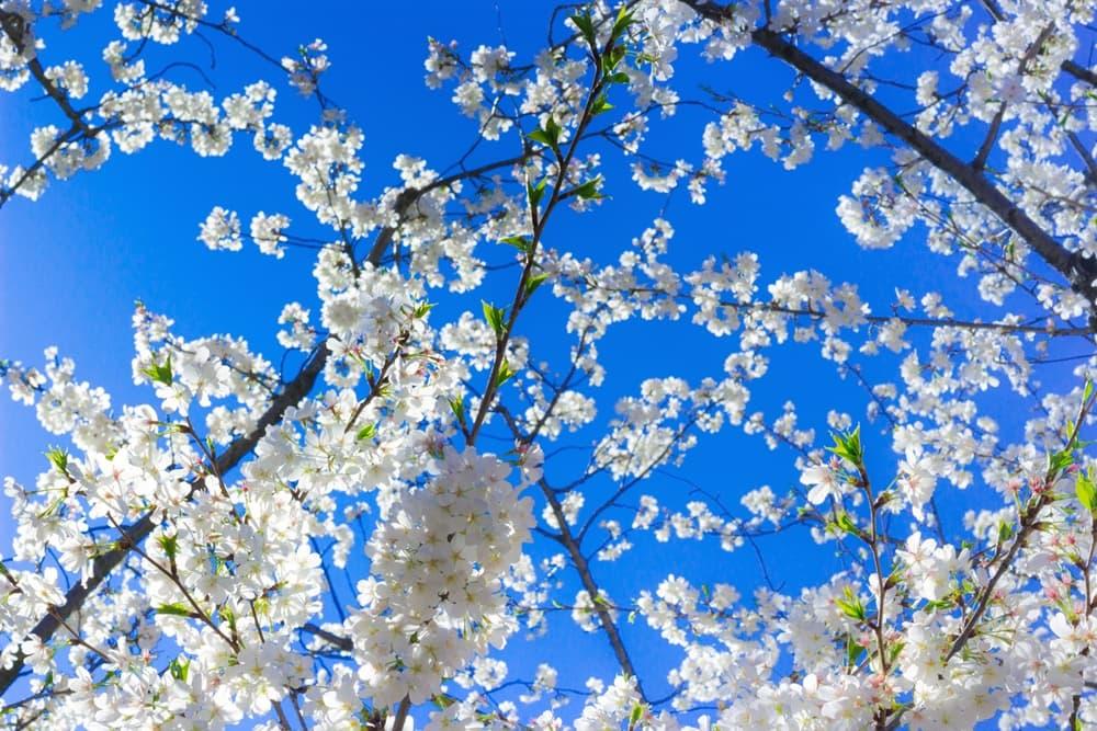 醍醐の花見。秀吉の最晩年における花見の宴、北野大茶湯と双璧を成す,アイキャッチ画像