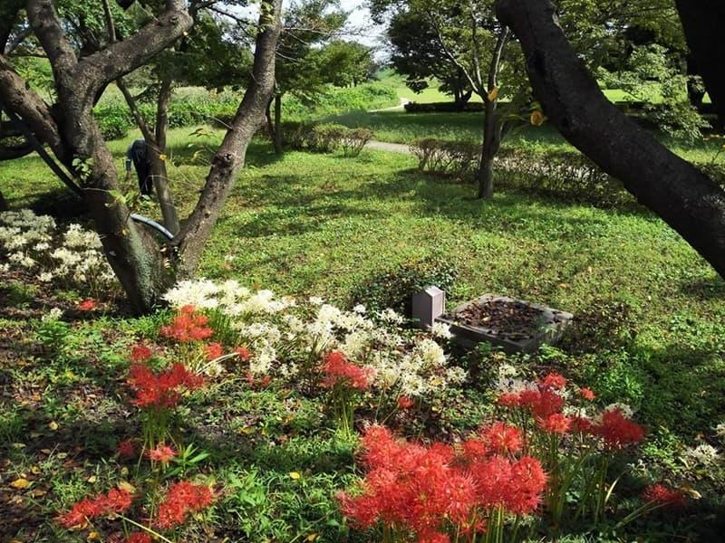 忍城・丸墓山古墳。忍城の戦いは日本三大水攻め、黄色い彼岸花,画像09